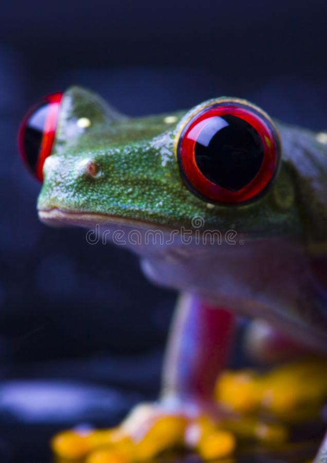 Download Red frog stock photo. Image of adaptation, eyed, crazy - 2103682