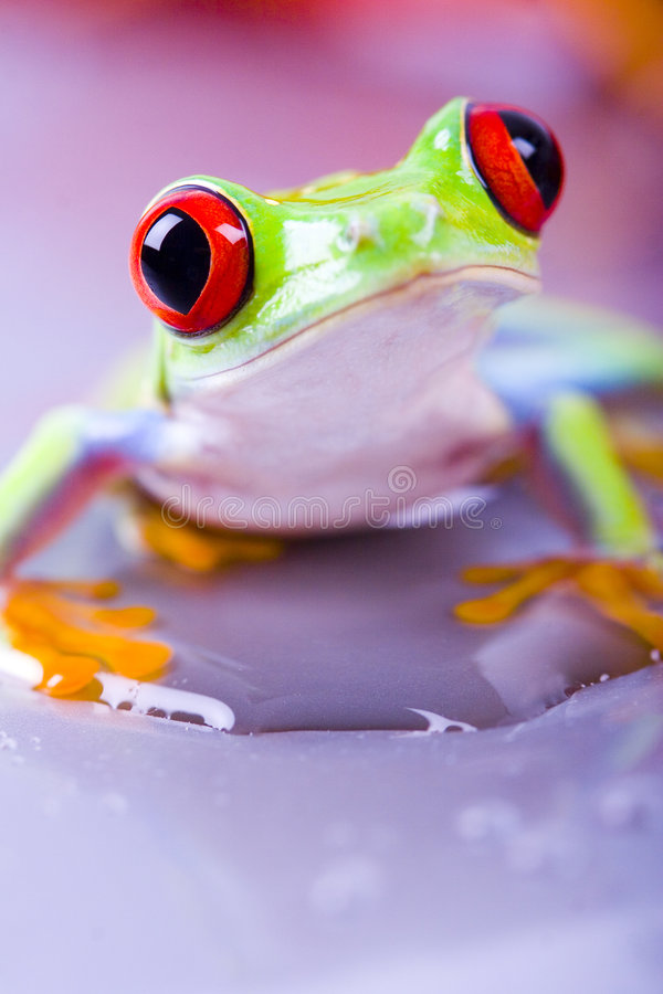 Download Red frog stock photo. Image of leaf, frogs, animals, bulging - 2316588