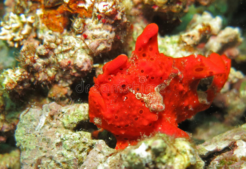 Red Frog Fish (Moalboal - Cebu - Philippines). Underwater: red Frog Fish (Antennariidae) @ Moalboal - Cebu - Philippines royalty free stock photos