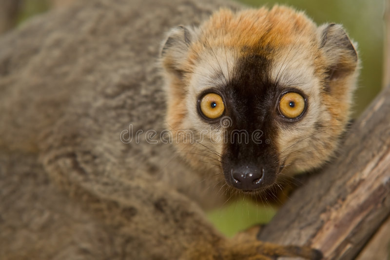 Download Red Fronted Brown Lemur Stock Image - Image: 7994881