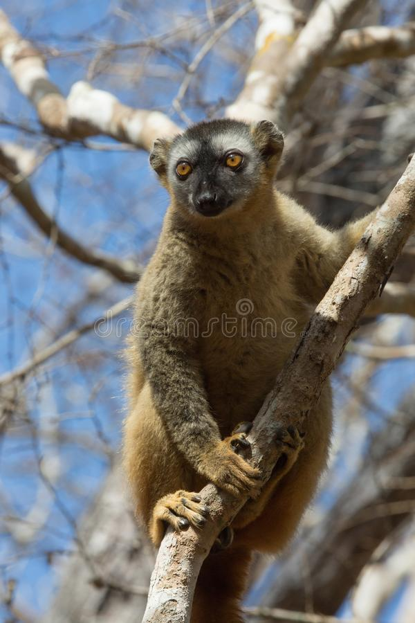 Red-fronted Brown Lemur climbing in trees stock images