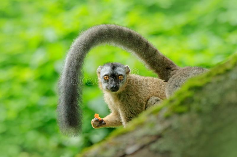 Red-fronted lemur, Eulemur rufifrons, monkey from Madagascar. Face portrait of animal with big tail, green tropic forest habitat. Monkey feeding orange fruits royalty free stock photos