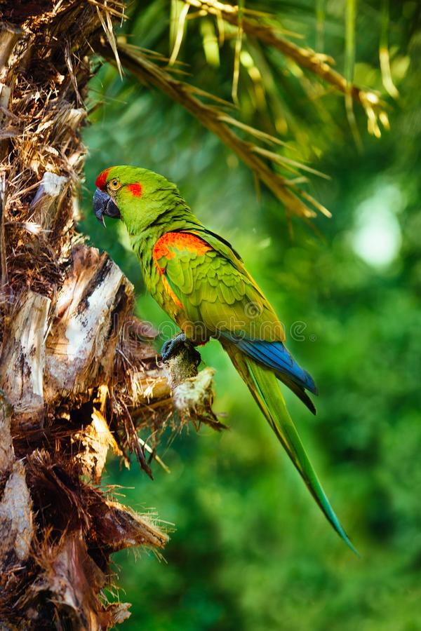 Free Red-fronted Macaw Ara Green Parrot Royalty Free Stock Image - 151073216