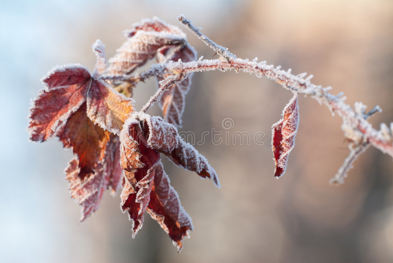 Red frozen leaves. On the stalk royalty free stock images