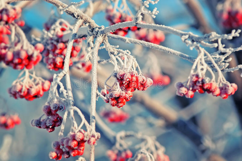 Red frozen Rowan berries covered with white hoarfrost in winter Park. Juicy red frozen Rowan berries covered with white hoarfrost in winter Park royalty free stock image