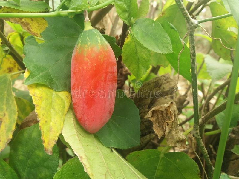 Red fruit. The froght is indian fruit . This nam is Tala kochu fol that is Kolkata fruit stock photos