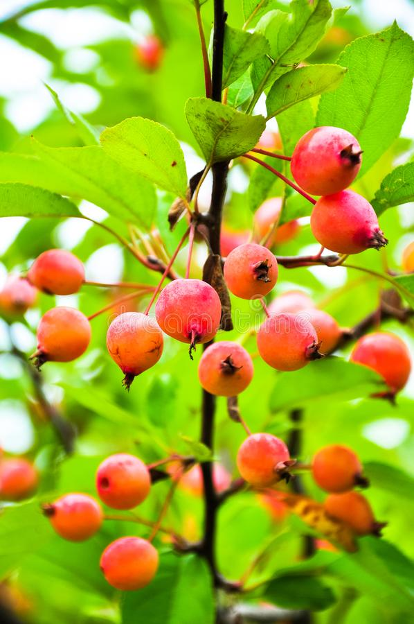 Red fruit tree stock photo