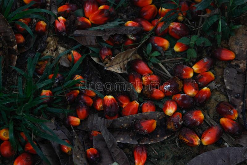 Red fruit from which palm oil. Is made in Indonesia royalty free stock photography