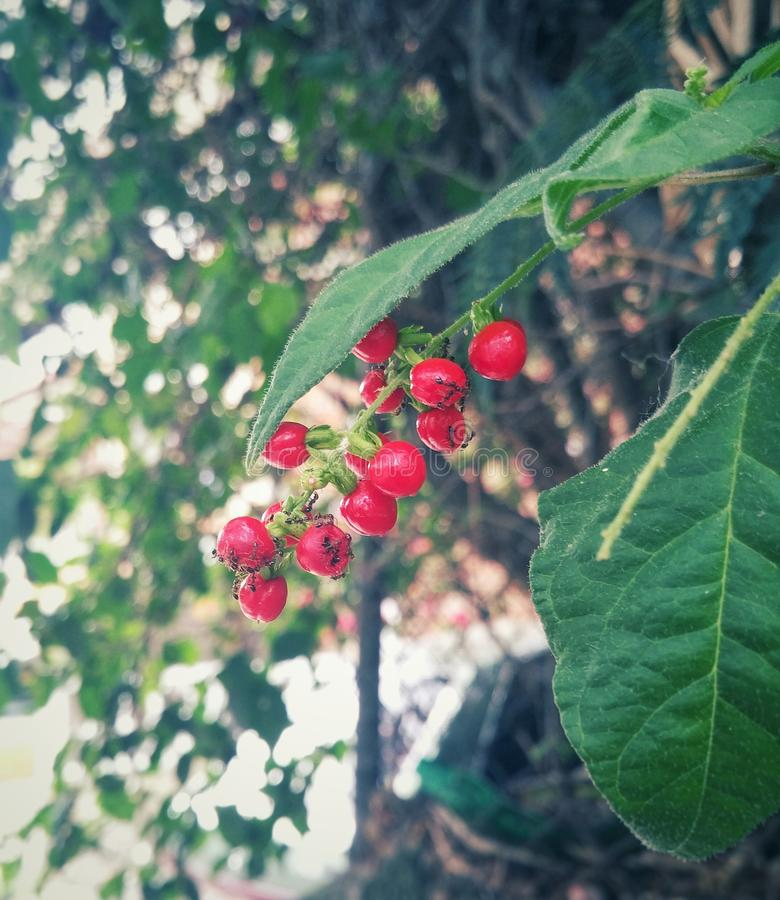 Small wild red fruits on the branch of a tree as food for small black ants. (invertebrate insect) stock photo