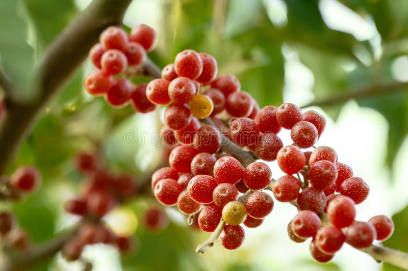 Red fruits of Elaeagnus umbellata or Japanese silverberry, known as umbellata oleaster or autumn olive royalty free stock images