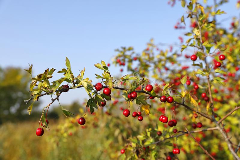 The red fruits of the hawthorn, crataegus royalty free stock photos