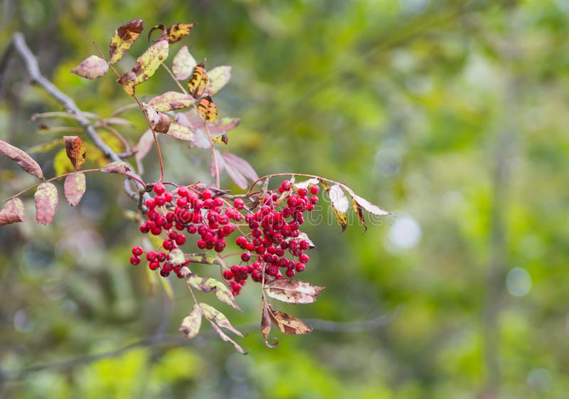 Red fruits of Mountain-ash or Rowan Sorbus aucuparia in Hokkaido, Japan. stock images