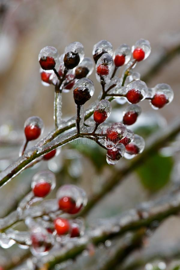 The red fruits of the plants are covered with ice and frost in winter stock image
