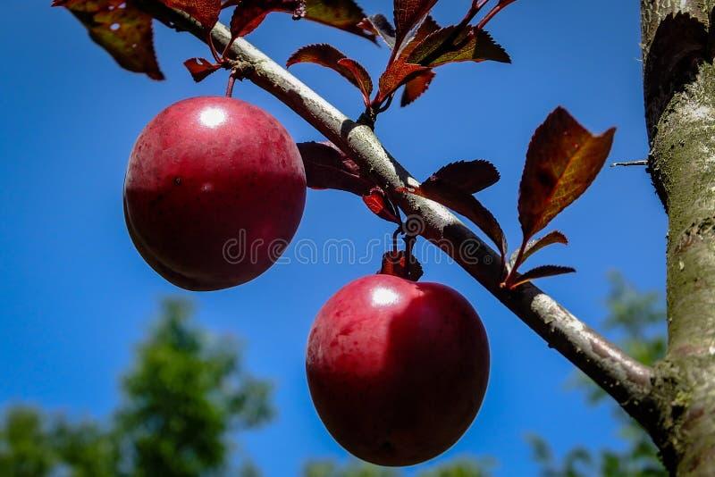 Red fruits of Prunus Pissardii or cerasifera on blue sky background royalty free stock photos