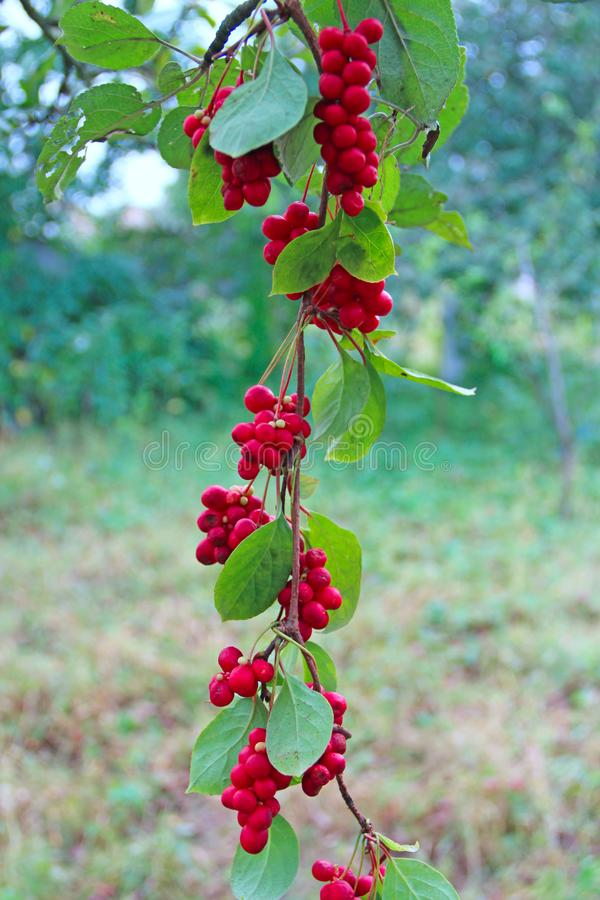 Red fruits of schisandra growing on branch in row. Ripe schizandra on liana in garden. Red fruits of schisandra growing on branch in row. Clusters of ripe stock image