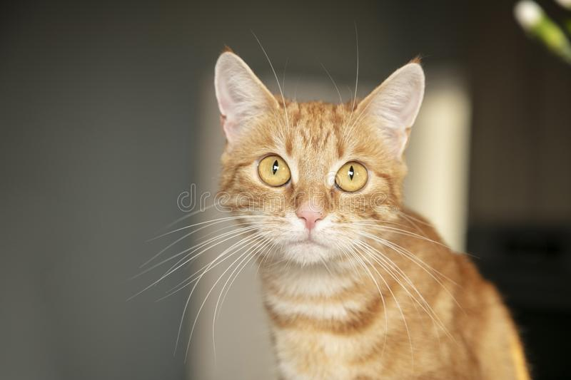 Red fur, the cat is sitting on the kitchen counter, close up royalty free stock image