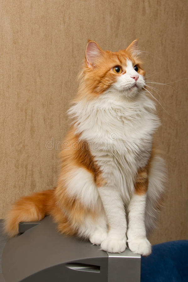 Download Red  furry cat stock image. Image of looking, feline - 19971609
