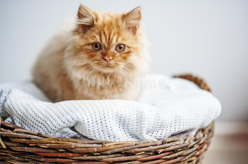 Red furry kitten in the wooden basket on light background looking forward. Veterinary care, cat health. Space for text royalty free stock photos