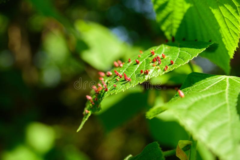 Red galls on tree leaf. Red bumps on tree leaf. Macro of galls, selective focus stock images