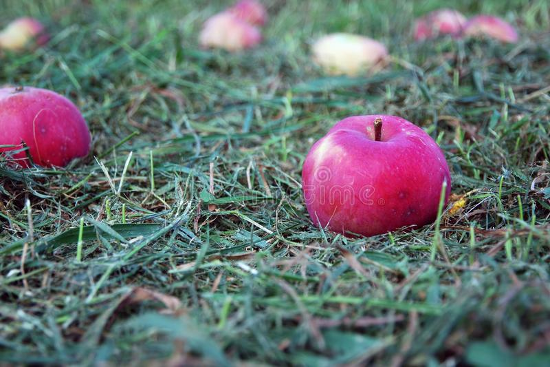 Red garden apples fell from a tree on green grass. A few red garden apples fell from a tree. Mowed green grass under apple tree, blurred lawn and distant apples royalty free stock photography