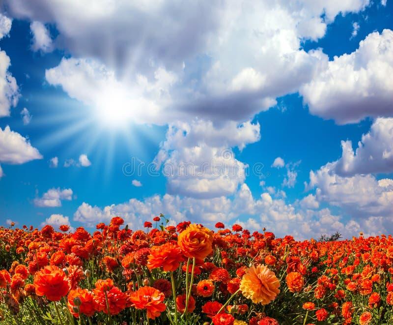 The red garden buttercups royalty free stock photos