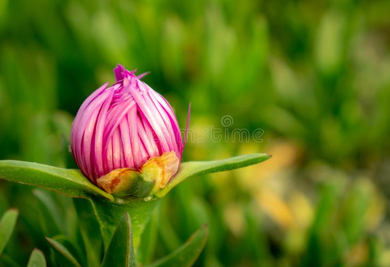A red garden flower, Hottentot-fig stock photo