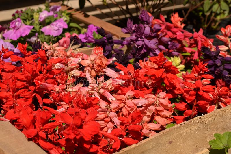 Red Garden Flowers Blomming in Spring stock photos