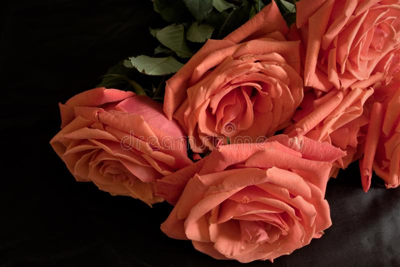 Red garden roses close-up, diagonal composition. Large red ripe flowers in full bloom of their beauty against a dark background, flowering garden plants, beauty royalty free stock photos