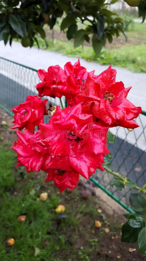Red garden roses covered in morning dew. Multiple red garden roses covered in morning dew situated under large tree and in front of street steel fence with stock images