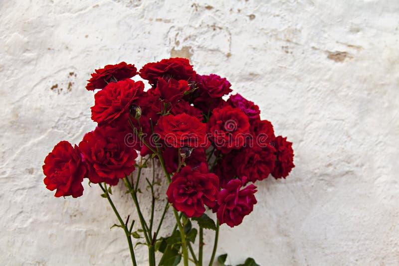 Red garden roses stock image