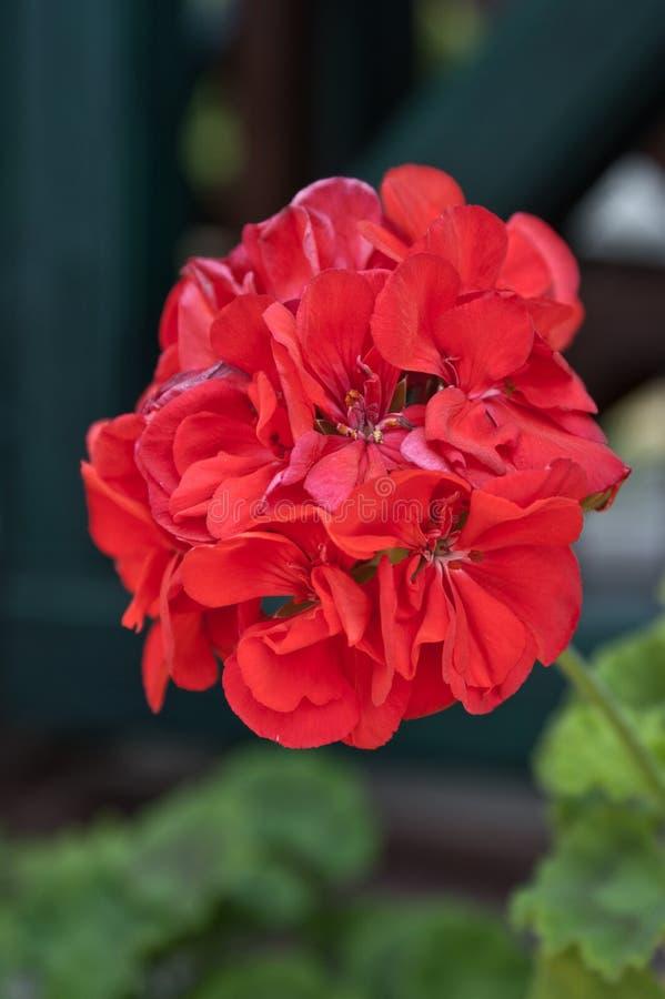 Red geranium on the balcony stock photos