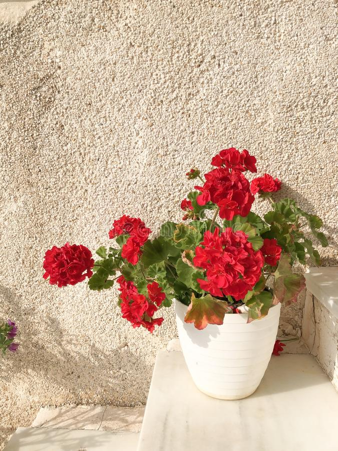 Red geranium flower in pot. Beautiful red geranium in bloom in white pot on stairs sunny terrace stock photography