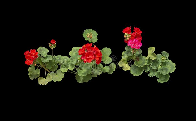 Red geranium flowers in pots. Red geranium flowers isolated on black stock image