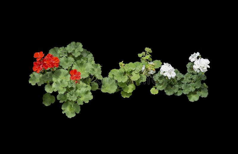 Red geranium flowers in pots. Red geranium flowers isolated on black stock photo
