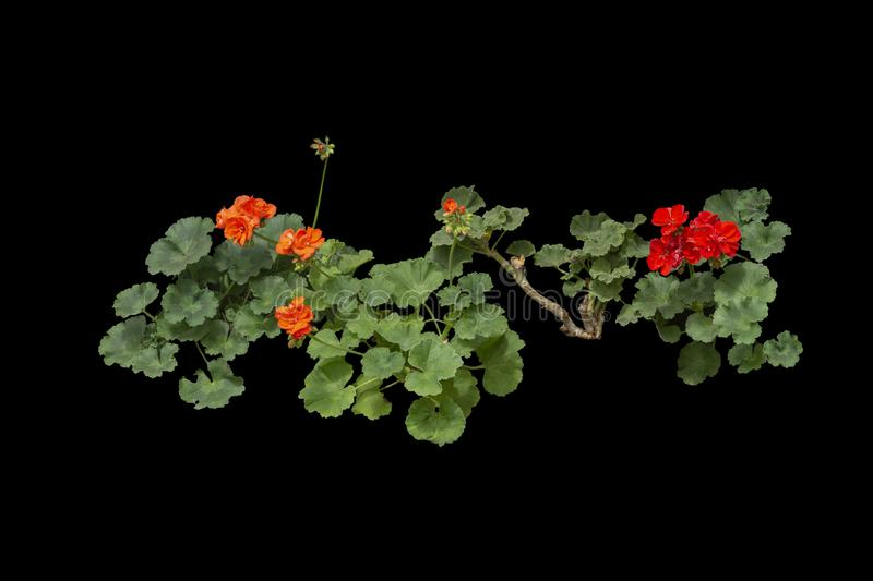 Red geranium flowers in pots. Red geranium flowers isolated on black royalty free stock image