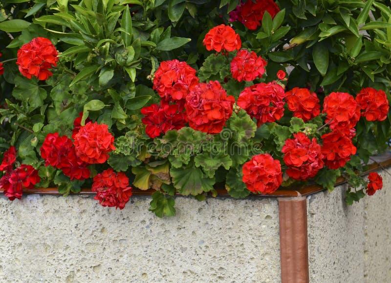 Red geranium flowers in summer garden. Bright pelargonium flowers.Geranium flowers. stock images