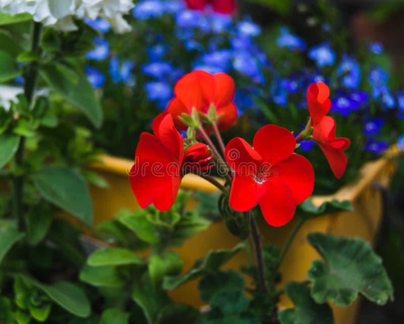 Red geranium in a garden. Bright red geranium in a garden stock photo