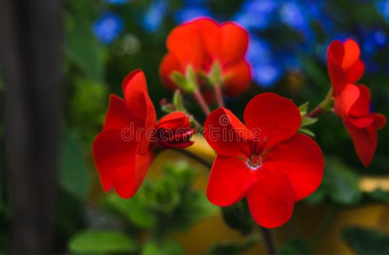 Red geranium in a garden. Bright red geranium in a garden stock photography