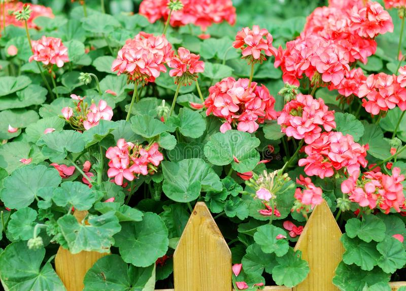 Download Red geranium stock photo. Image of petal, pelargonium - 31553630