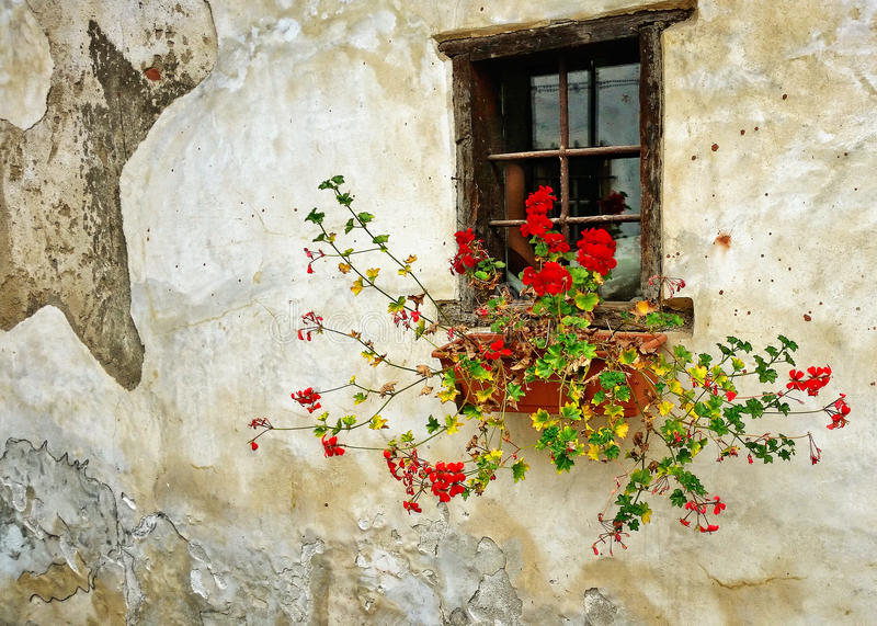 Red geraniums in planter on old ragged wall stock images