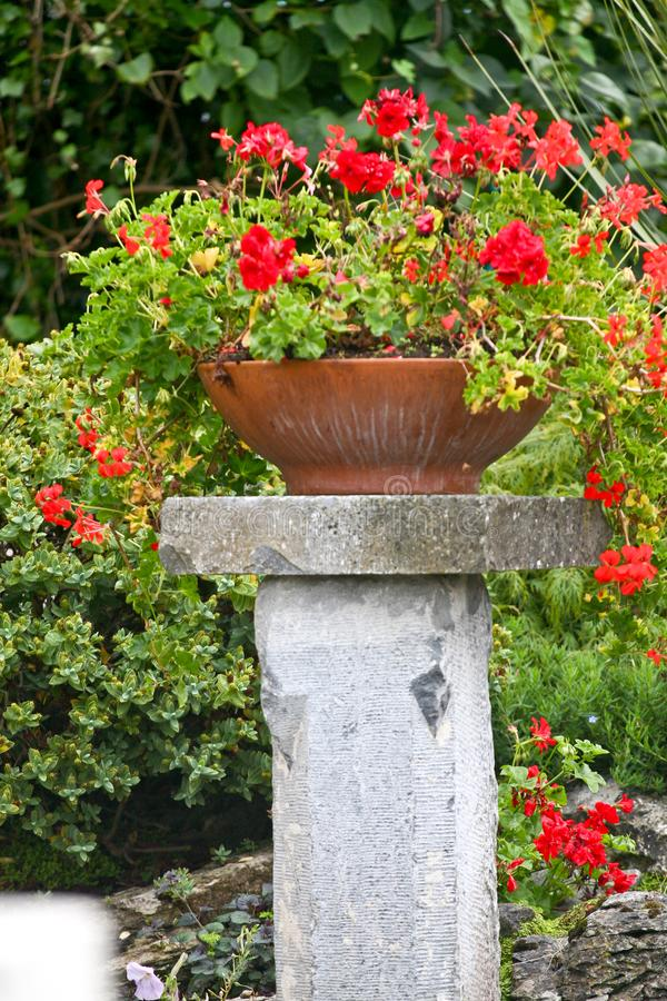 Red Geraniums in a pot royalty free stock photos