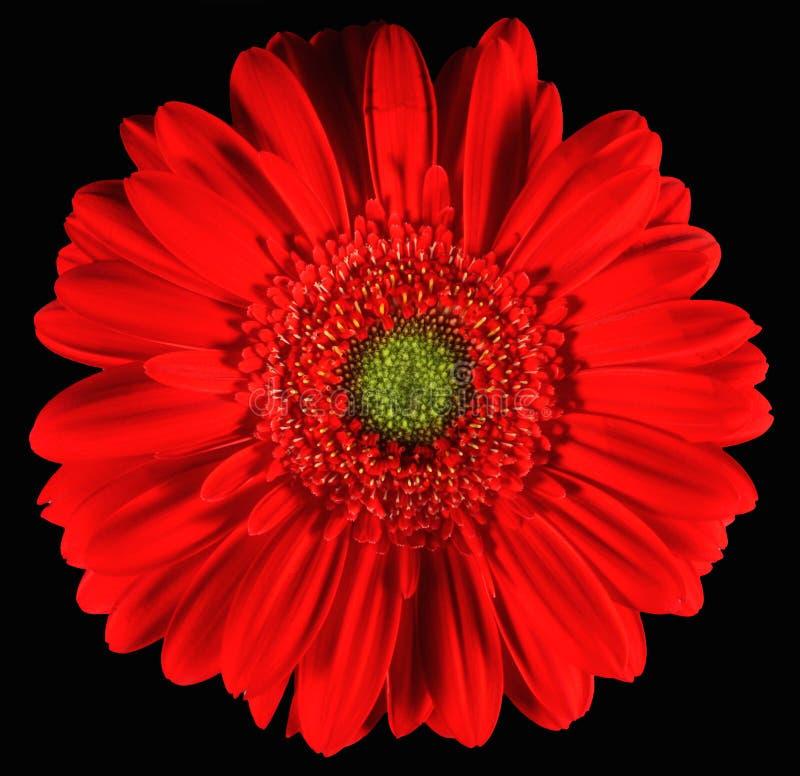 Red Gerber stock photo