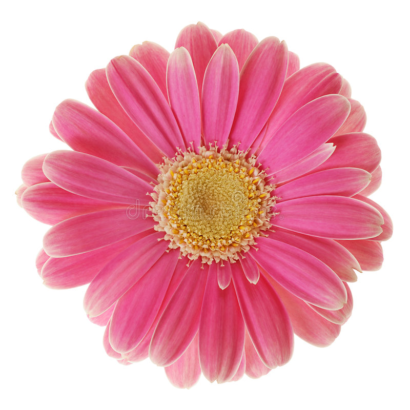 Free Red Gerber Daisy Royalty Free Stock Photos - 2079368