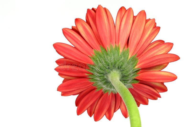Download Red gerber daisy stock image. Image of macro, flower, orange - 2837697
