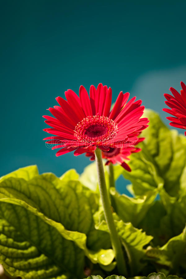 Red Gerber Daisy Flower royalty free stock photos