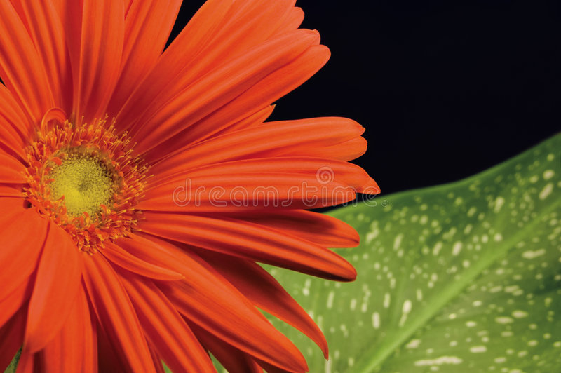 Download Red Gerber Daisy And Leaf Left Hand Stock Image - Image: 6068073