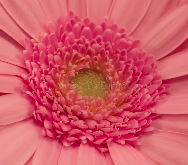 Red Gerber Daisy stock image