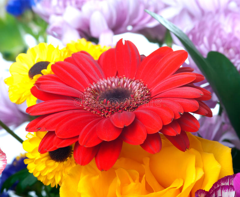 Red gerber flower royalty free stock images