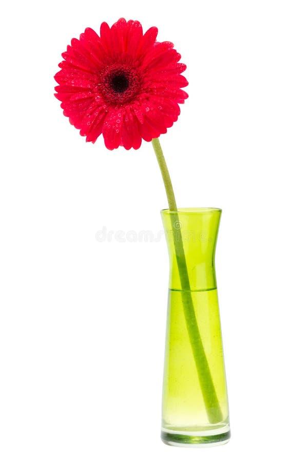 Red Gerber flower, one gerbera daisy in vase stock photo