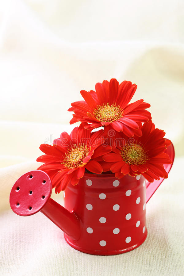 Red gerber flowers stock images